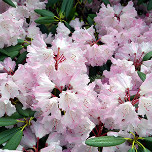 Whidbey Island, Rhododendron Gardens 11