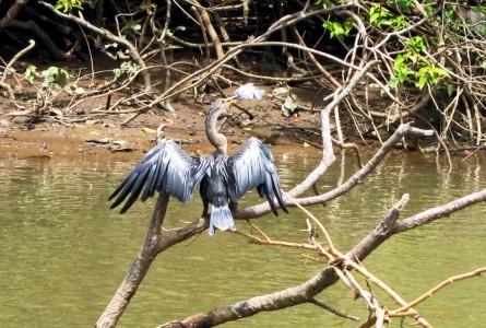 Costa Rica Caño Negro, Anhinga, or Snake Bird 4