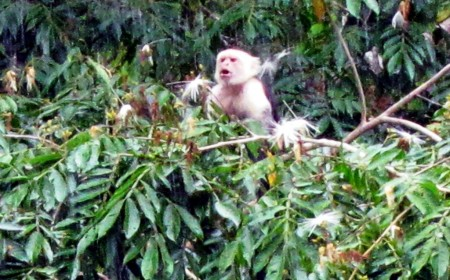 Costa Rica Caño Negro, Capuchin or White-Faced Monkey 10