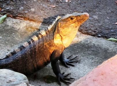 Costa Rica Manuel Antonio, iguana 16