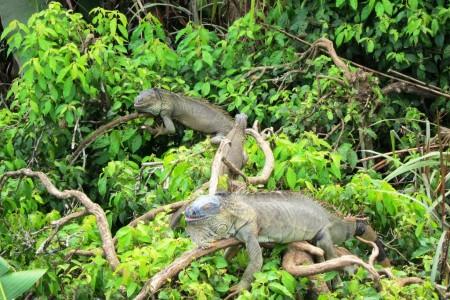 Costa Rica The Iguana Tree 2
