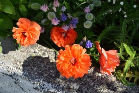 Iceland, flowers