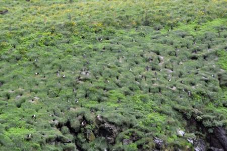 Iceland, puffins 3